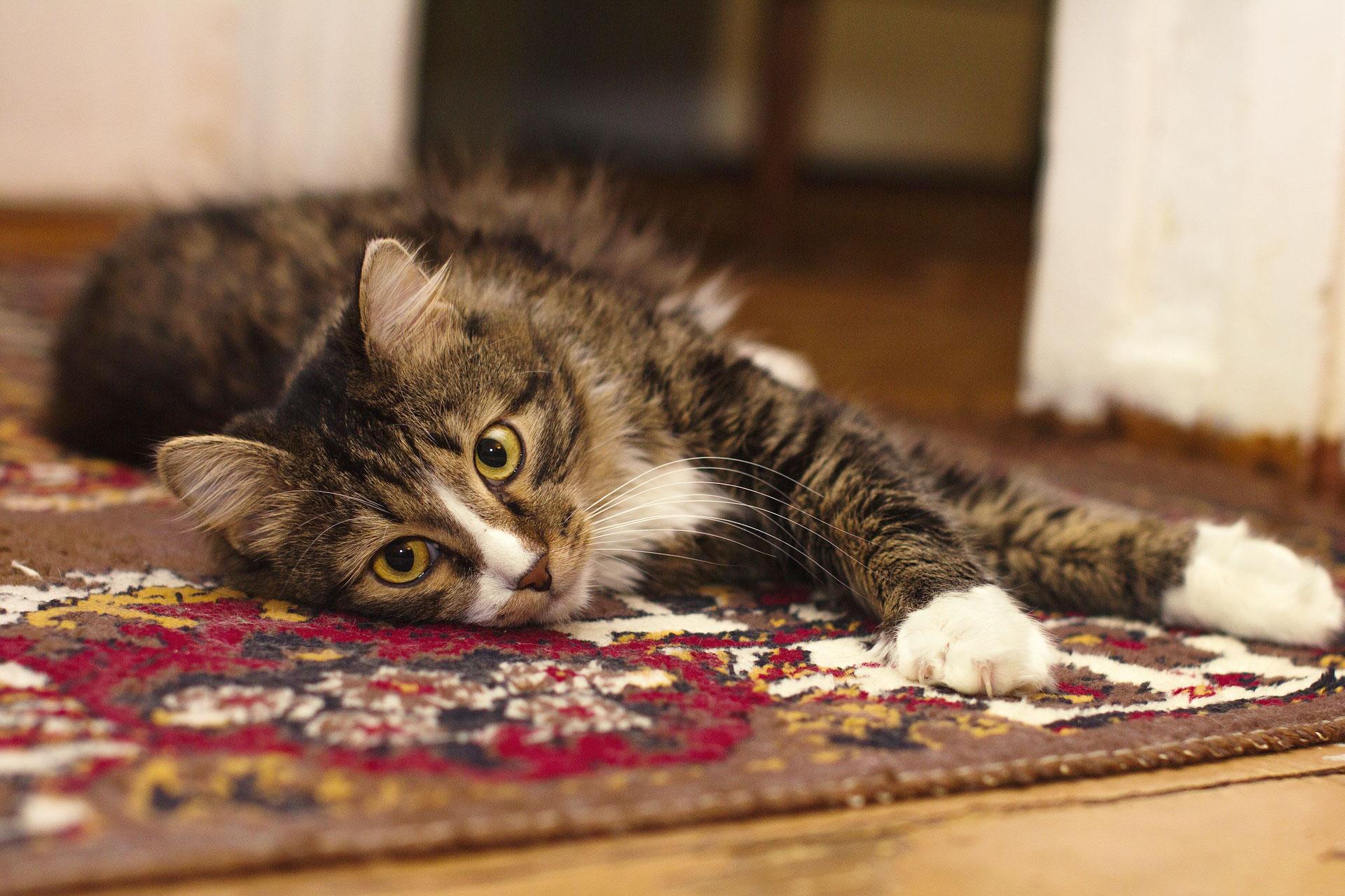 Katze-Teppich-Weissmann